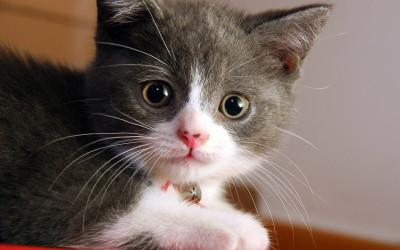 Kako zaštiti mačku od gripe