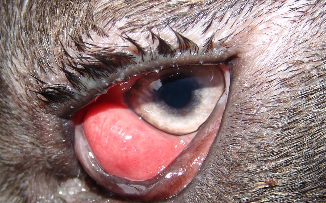 Cherry eye ili ispadanje  žlijezde trećeg očnog kapka