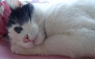 Kalicivirusna infekcija mačaka