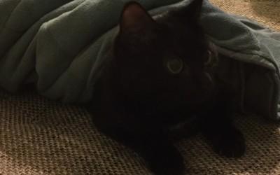 Leukemija mačaka ( FeLV )