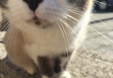 Zarazni peritonitis mačaka